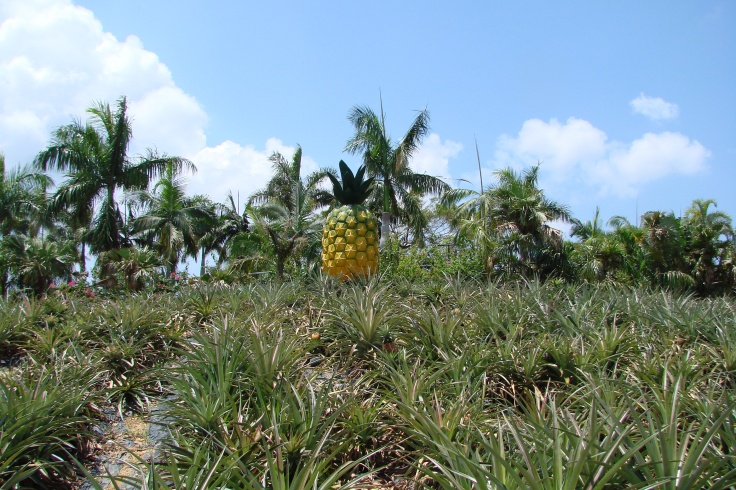 The fields of the Nago Pineapple Park
