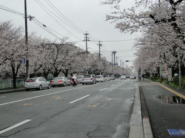 A cloudy day, but here are our cherry trees in Kumamoto