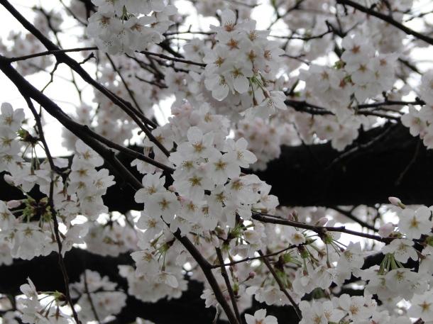 Slightly lighter than normal, but still beautiful cherry blossoms