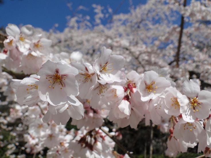 A sakura close up