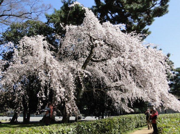 A tree in bloom in the Imperial Palace Garden