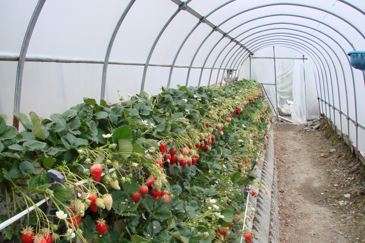 A strawberry greenhouse