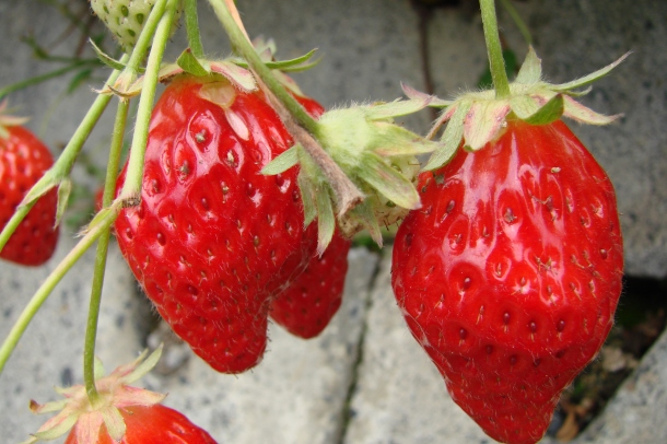 Lush strawberries in Shizuoka