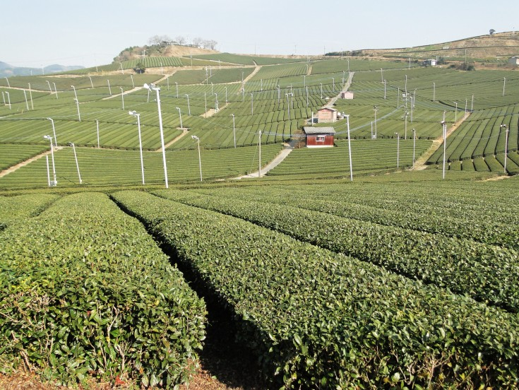 Tea bushes in Fukuoka
