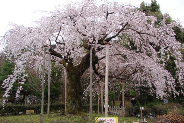 Cherries in bloom in Maruyama