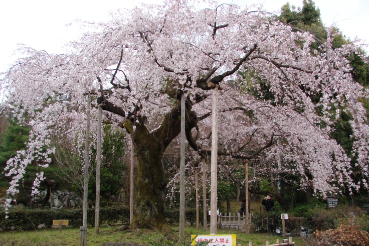Cherries in bloom in Maruyama