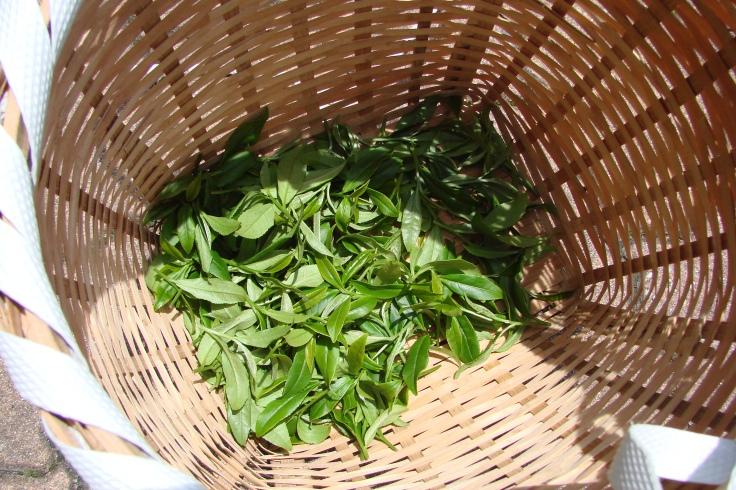 Freshly harvested tea leaves