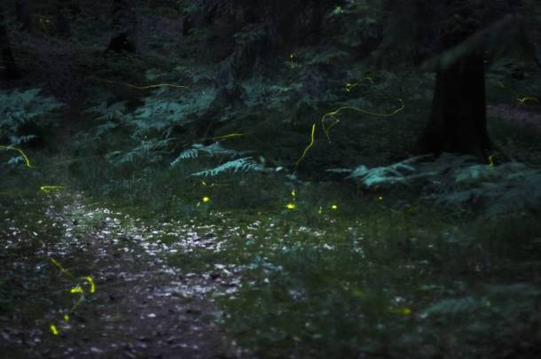 Fireflies in Japan (Photo source: The Japan Times)