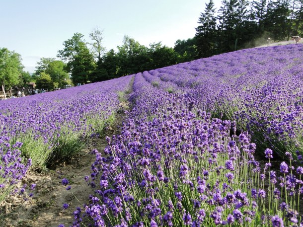 Lavender at Farm Tomita