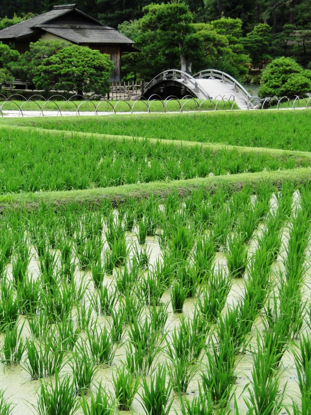Rice paddy in Korakuen