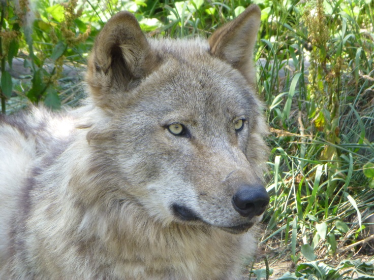 Wolf at Asahiyama Zoo