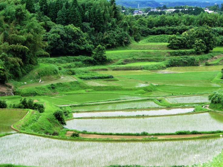 Rice paddies in early summer