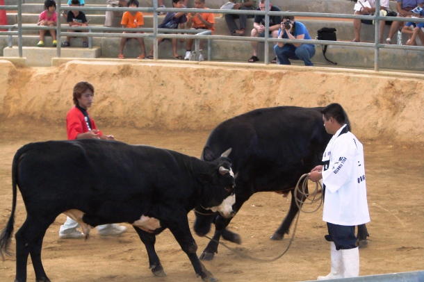 A bout of bullfighting in the Ishikawa Dome in Okinawa