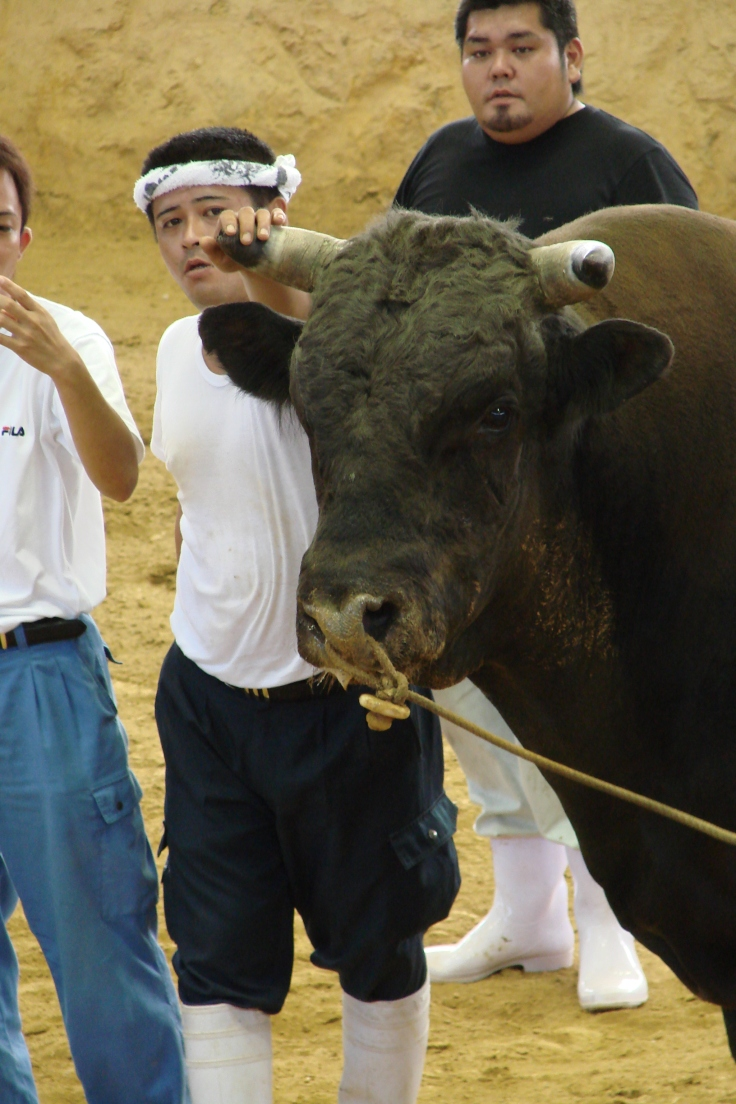 A bull with his handler