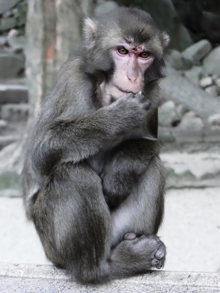 A Japanese macaque
