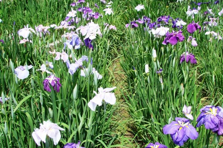 Irises in Koishikawa Korakuen
