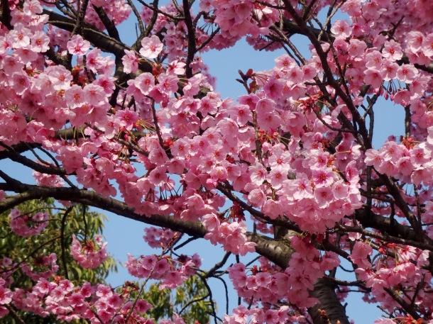 Pink sakura in Kochi