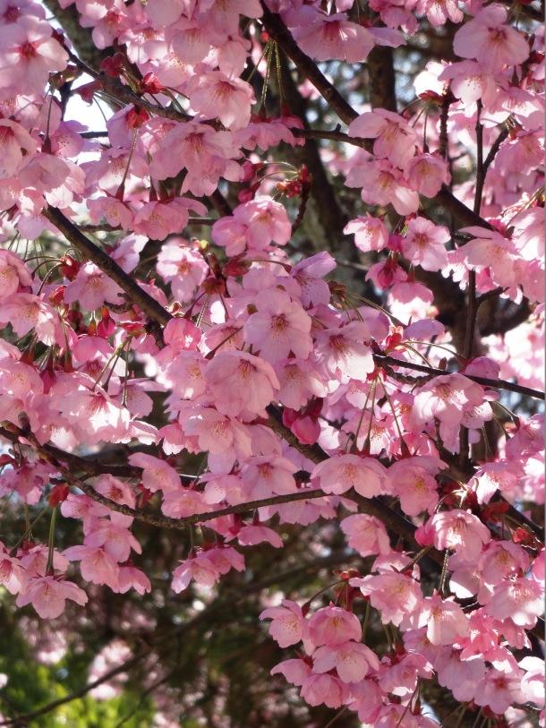 Sakura at a rest stop near Matsuyama