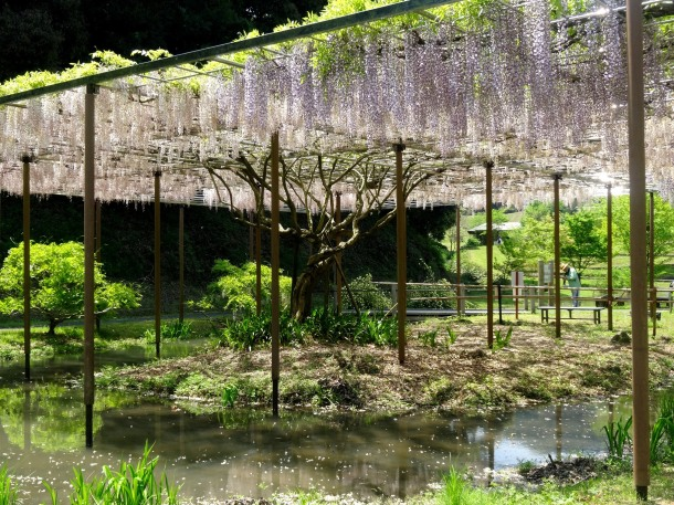 Wisteria is usually at the height of its blooming season during Golden Week