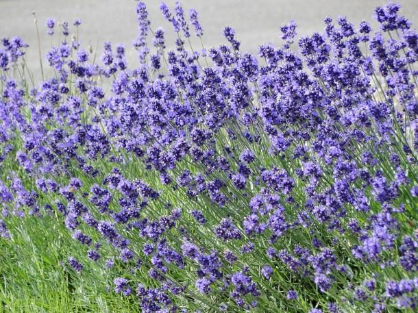 Hokkaido's famed lavender