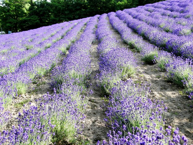 A hillside of lavender at Farm Tomita