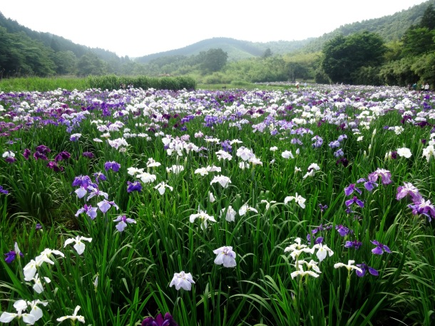 Over 300,000 irises bloom here every June