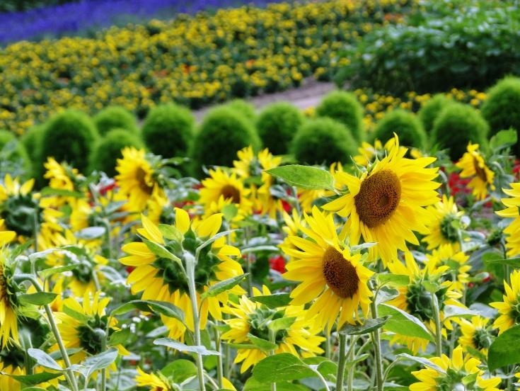 Sunflowers are big at Zerubu Hill
