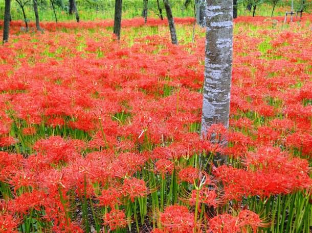 Spider lilies at Kinchakuda Park