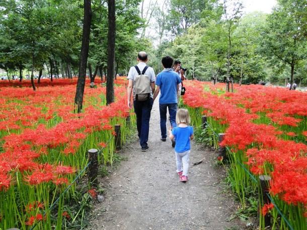 Paths between the spider lilies at Kinchakuda