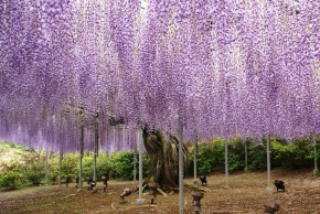 Great Gardens: Ashikaga Flower Park