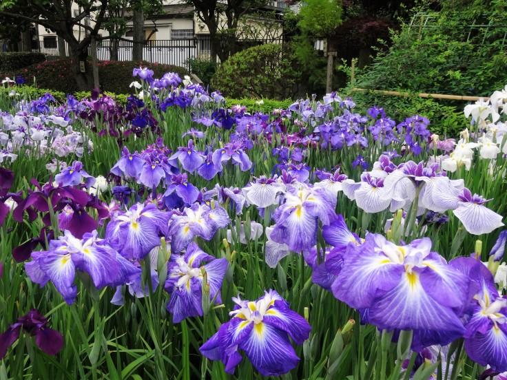 Horikiri Iris Garden (47)