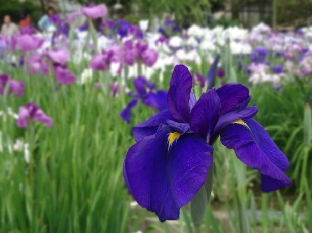 Horikiri Iris Garden (93)