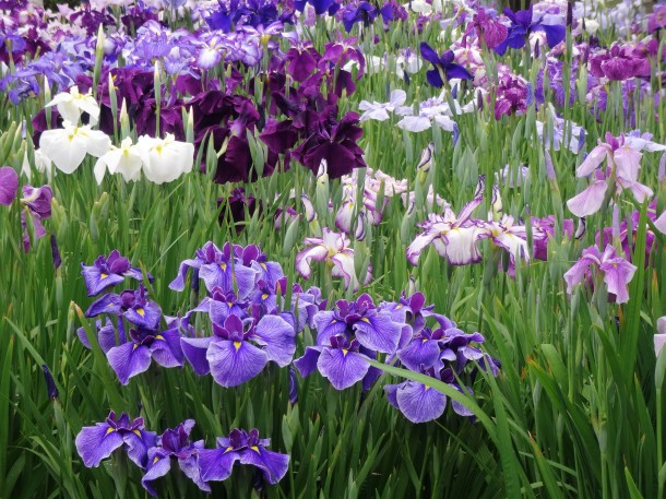 Horikiri Iris Garden (97)